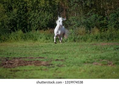 running white beautiful  Orlov trotter stallion at freedom. spring season