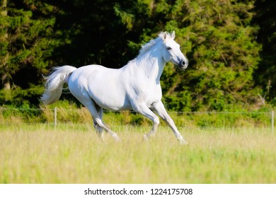 Running white horse on the background of the forest