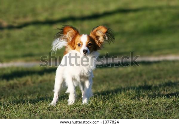 running white and rust dog