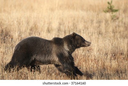 Running wild Grizzly Bear