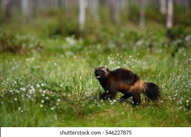 Running Wolverine in Finnish taiga. Wildlife scene from nature. Rare animal from north of Europe. Wild wolverine in summer grass.
