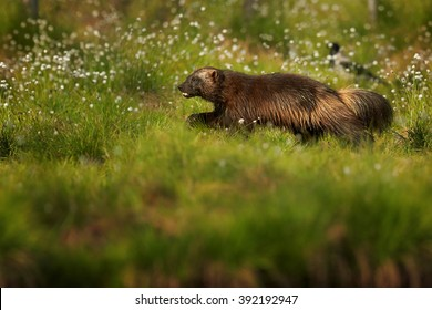 Running  Wolverine, Gulo gulo, in the meadow  in nordic taiga against blurred dark green forest in background. Late spring, Scandinavia.