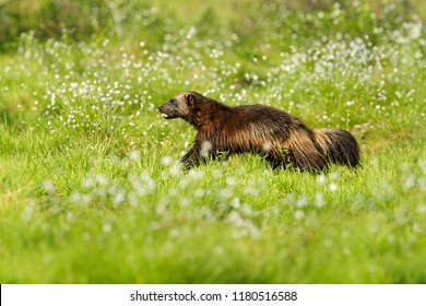 Running Wolverine in Russia taiga. Wildlife scene from nature. Rare animal from north of Europe. Wild wolverine in summer cotton grass. Animal behaviour in the habitat, Finland. Summer in the nature.