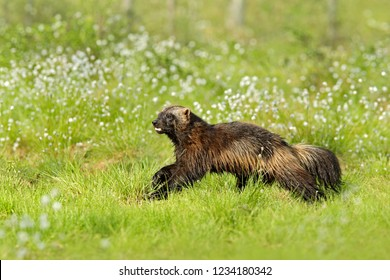 Running Wolverine in Russia taiga. Wildlife scene from nature. Rare animal from north of Europe. Wild wolverine in summer cotton grass. Animal behaviour in the habitat, Finland.