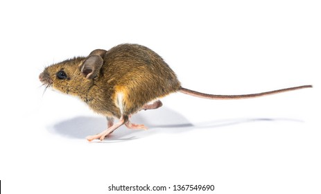 Running Wood mouse (Apodemus sylvaticus) isolated on white background with shade. This cute looking mouse is found across most of Europe and is a very common and widespread species.