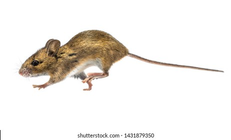 Running Wood mouse (Apodemus sylvaticus) isolated on white background. This cute looking mouse is found across most of Europe and is a very common and widespread species.