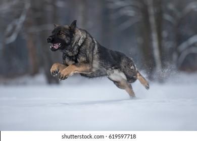 Running working line german shepherd in snow