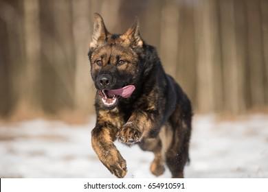 Running working line german shepherd puppy
