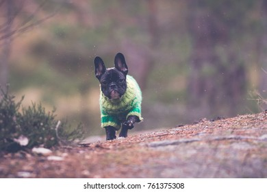 Running young French bulldog outdoors with green warm autumn clothes.