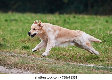 Running young purebred Golden Retriever