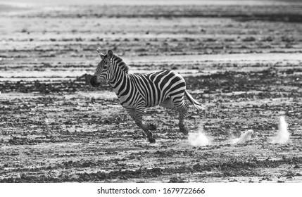 Running Zebra Tarangire National Park