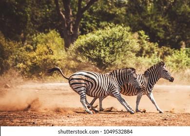 The running zebras in Kruger National park, South Africa. Scared zebras
