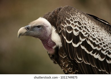 Ruppell griffon vulture, Gyps rueppellii, portrait on green background