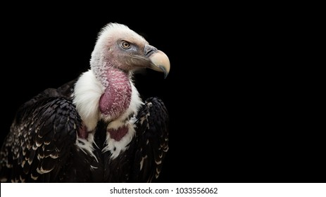 A Ruppell's Griffon Vulture (Gyps rueppellii), portrait, close-up, isolated on gray background.