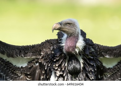 Ruppell's griffon vulture (Gyps rueppellii) portrait on green background