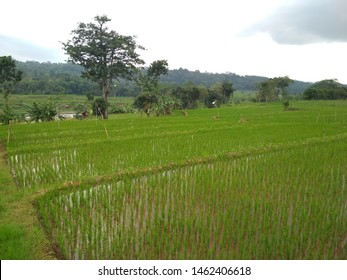 Rural atmosphere in the rice fields with green rice plants