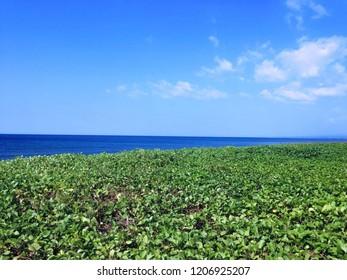 Rural Beach View With Ipomoea Pes Caprae Beach Plants At Seririt Village, North Bali, Indonesia