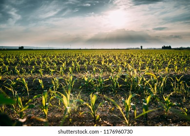 Rural Cornfield Landscape. Plantation With Young Corn In Spring Season.