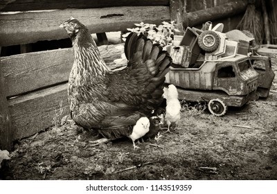 Rural courtyard. In the frame, a hen is a hen's mother of small newborns. Next to the old retro children's toys. Horizontal frame. Photographed in Ukraine, Kharkiv region. Black and white image