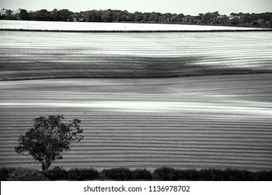 Rural England landscape. Wiltshire. Farming land. Lonely tree silhouette  at foreground. Rows. A game of light and shadow. Black and white photo.