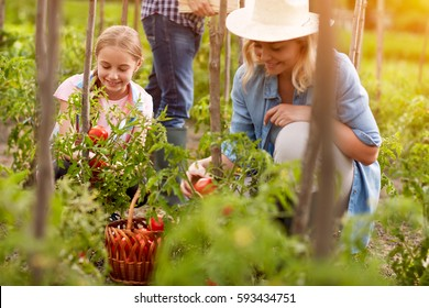 Rural family pick organically tomatoes in garden
