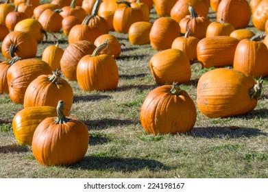 Rural field with orange pumpkins displayed for harvest