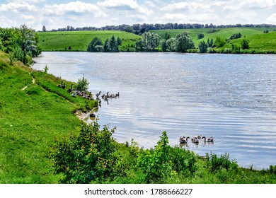 Rural lake with flocks of domestic geese in the water and on the shore against the background of hilly spring-summer nature. A pond with waterfowl birds in the middle of green grass and trees