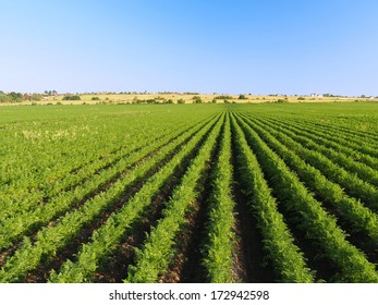 Rural landscape background. Field with carrots sprouts. Vicinities of St. Petersburg. Russia.