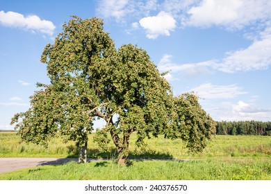Rural landscape in Bavaria with an old apple tree.