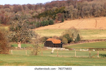 A Rural Landscape in the Chiltern Hills in Winter sunshine with grazing sheep and rustic barn