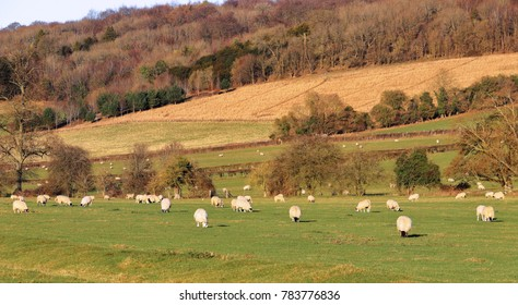 A Rural Landscape in the Chiltern Hills in Winter sunshine with grazing sheep