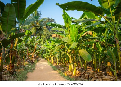 Rural landscape common road through banana plantation in India