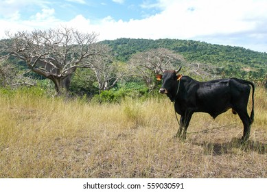 Rural landscape with a cow at Mayotte island, France