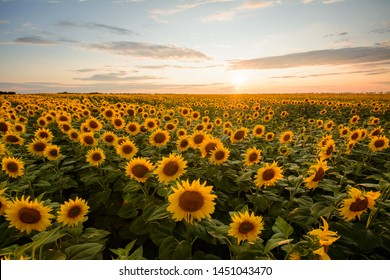 Rural landscape of field of blooming golden sunflowers while sunset in Ukraine