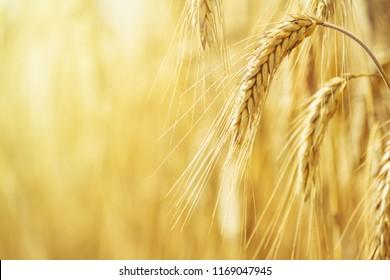 Rural landscape - field common wheat (Triticum aestivum) in the rays of the summer sun, close-up