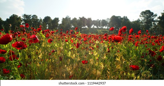 rural landscape, a field of flowering red poppies