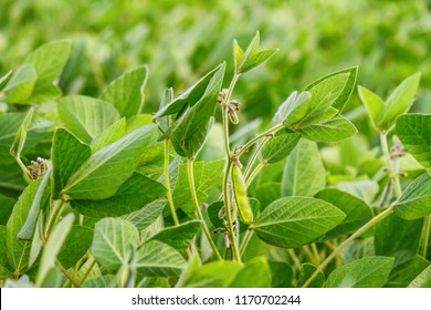 Rural landscape - field the soybean (Glycine max) in the rays summer sun, closeup