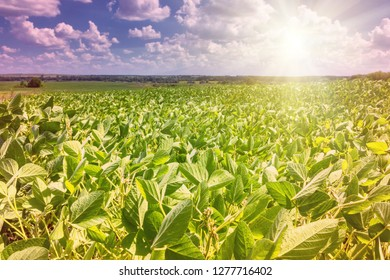 Rural landscape - field the soybean (Glycine max) in the rays summer sun under sky with clouds