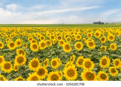 Rural landscape with a field of sunflowers and sky. Wallpaper with blossomed sunflowers.