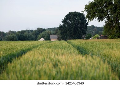 A rural landscape with a field of triticale in the foreground, in the background farm buildings. Central Europe