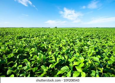Paysage rural avec champ de soja vert frais. Champ de soja