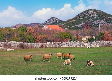 Rural landscape with grazing sheep. Bosnia and Herzegovina