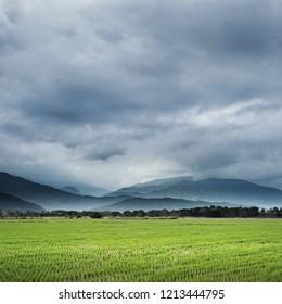 rural landscape of green paddy farm