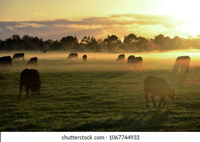 Rural landscape with herd of cows in morning fog at sunrise in Morpeth, NSW, Australia