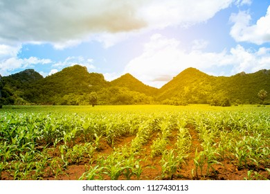 Rural landscape , hills and corn farm at sunset with warm light in Thailand.