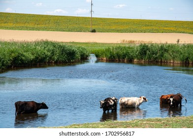 Rural landscape of lake and several cows drinking water from pond overgrown by fresh reeds. Blue rippled water surface and cow silhouettes with blurred reflections.