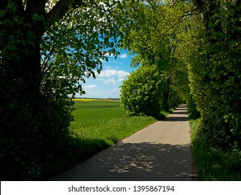 rural landscape with lime tree road with conola field