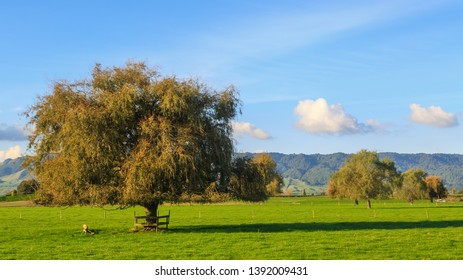 Rural Landscape Panorama. Green Fields With Autumn Willow Trees. Photographed in the Waikato Region, New Zealand, With the Kaimai Mountains in the Background
