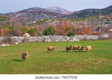 Rural landscape with pasture and grazing sheep. Bosnia and Herzegovina, Republika Srpska, Tuli region