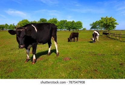 Rural landscape with piebald farm milk cows on a pasture